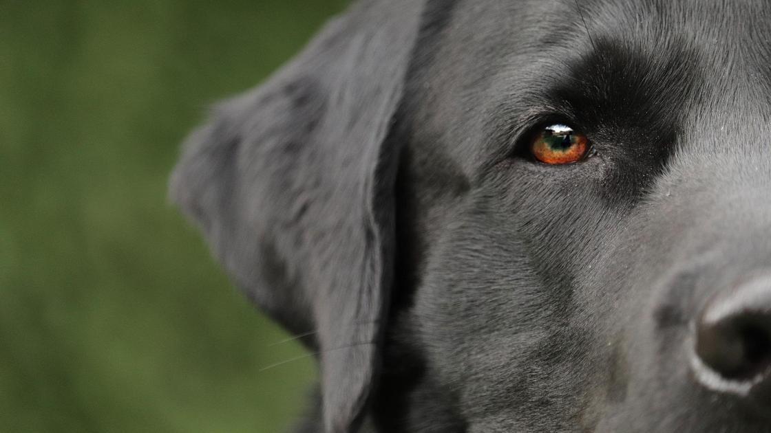 Голова черной собаки