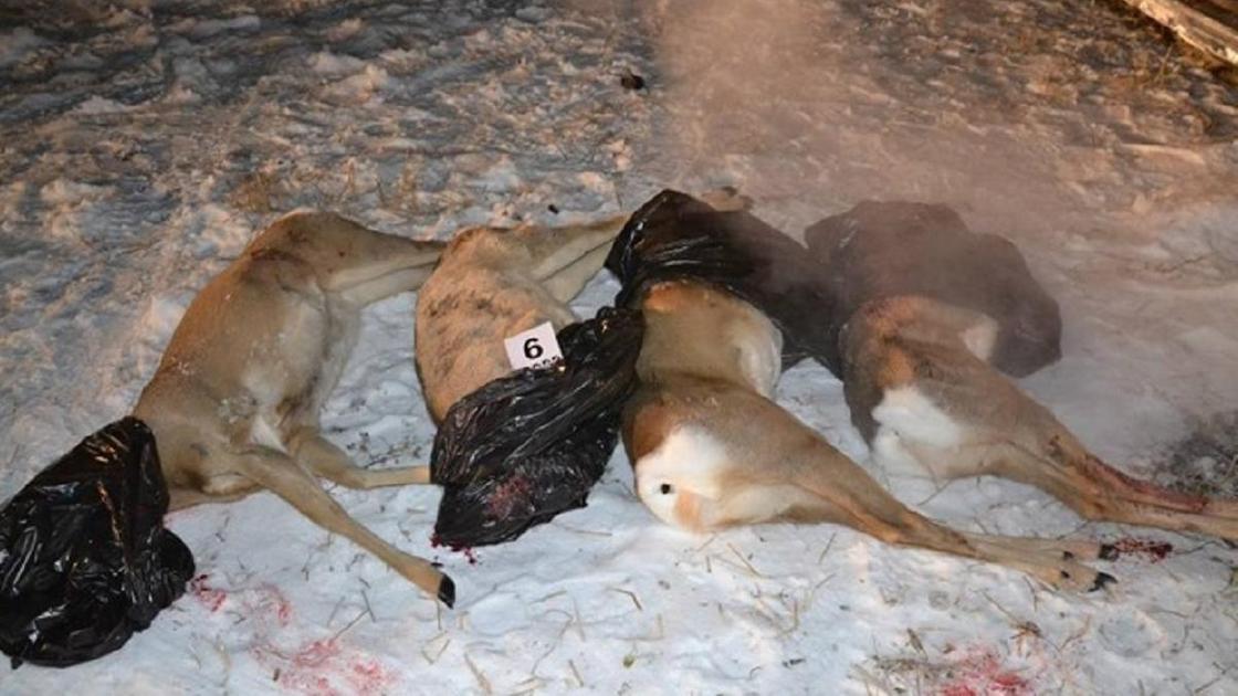 Туши убитых косуль лежат на снегу