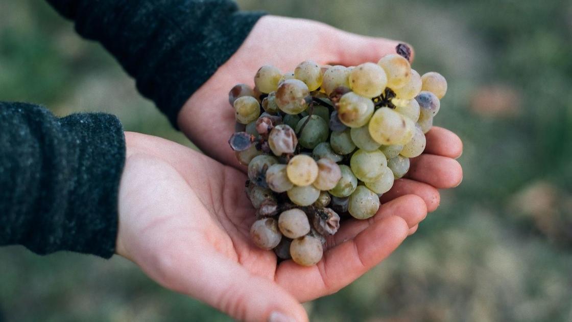 В ладонях гроздь винограда с пораженными ягодами