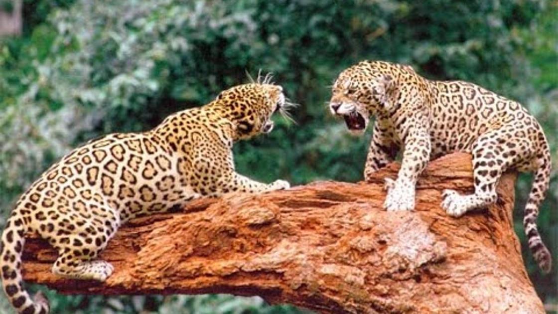 два леопарда