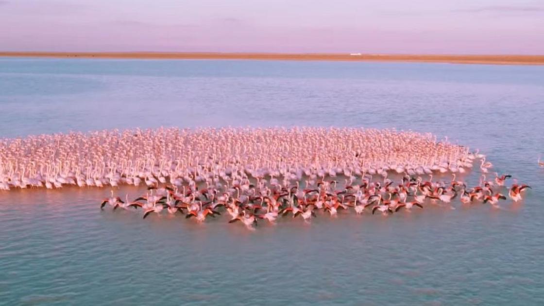 Фламинго в Мангистауской области