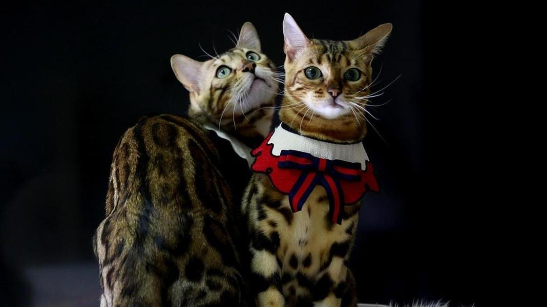 Бенгальские кошки