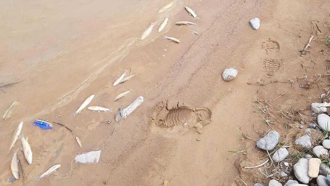 Дохлая рыба лежит на берегу водоема
