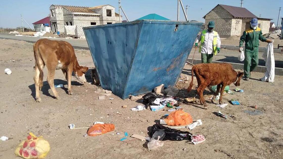 Коровы возле мусорного бака в Атырау