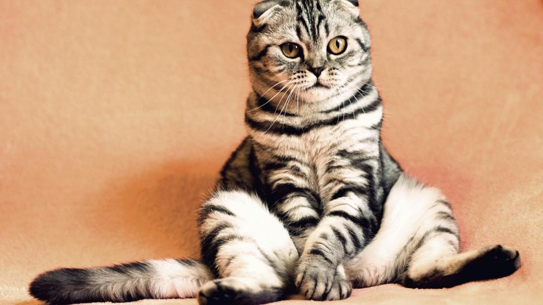 Вислоухий кот окраса Вискас
