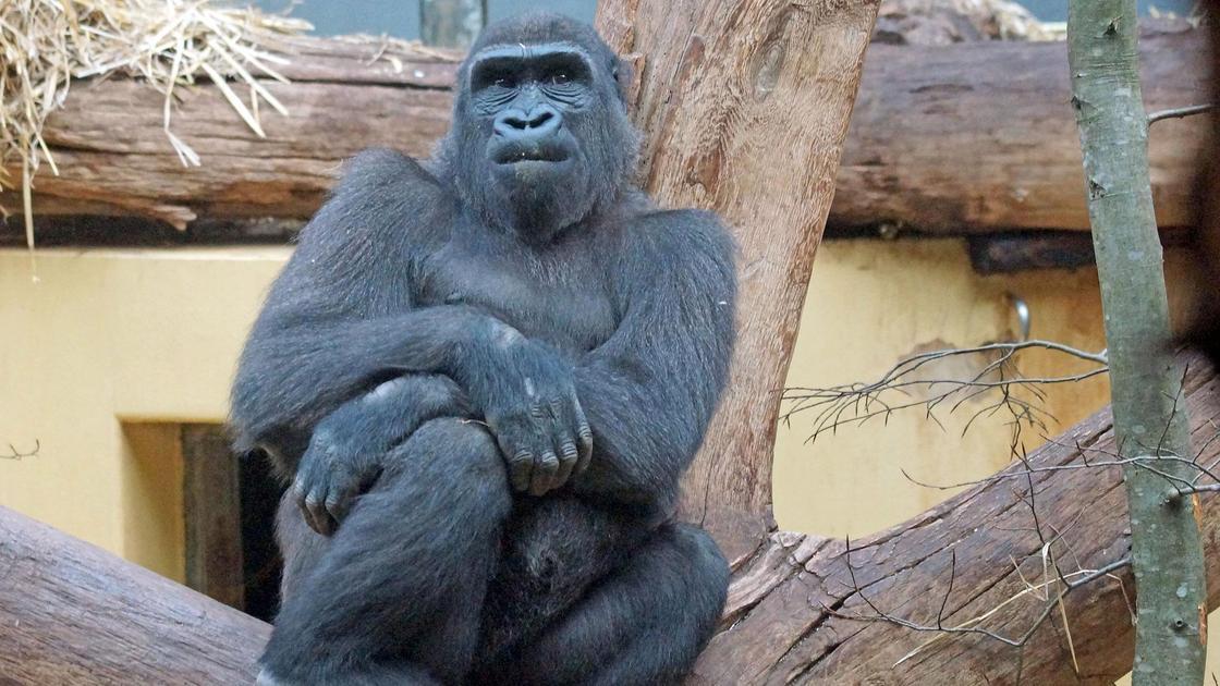 Горилла в зоопарке