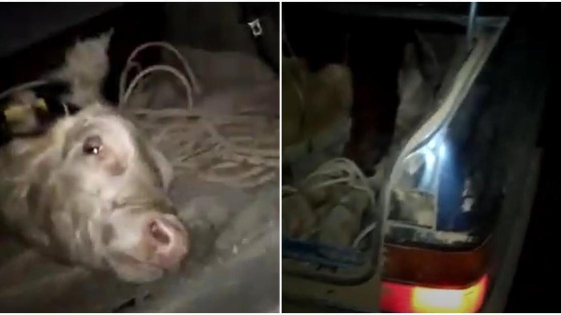 Корова в багажнике в ВКО