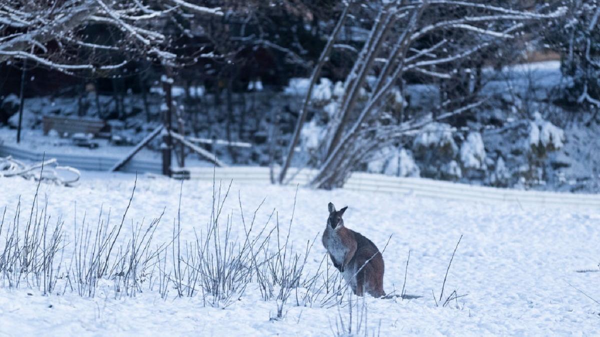Кенгуру в снегу: в некоторых регионах Австралии впервые за 15 лет выпал снег