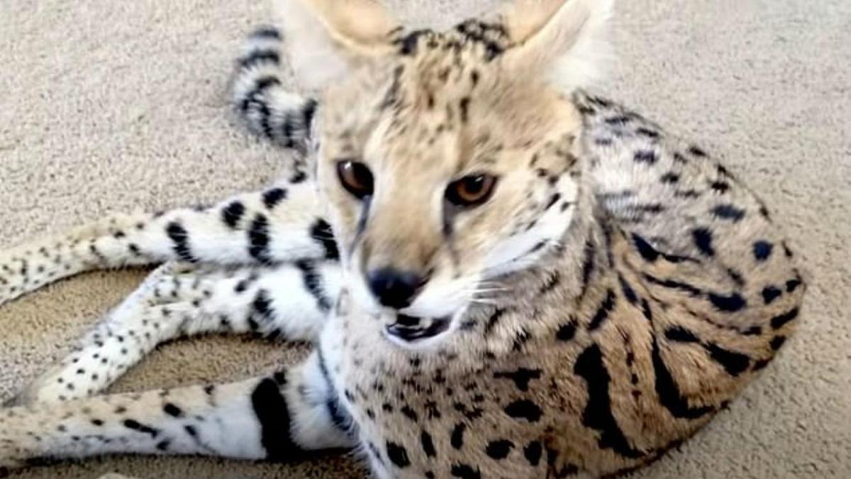 Купленный супругами кот за 7 тыс. долларов оказался вымирающим суматранским тигренком