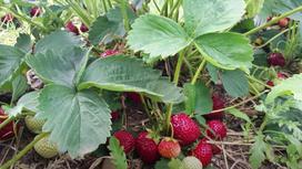 Кусты клубники с красными плодами