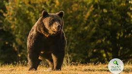 Медведь Артур