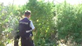 Полицейские выявили плантацию конопли