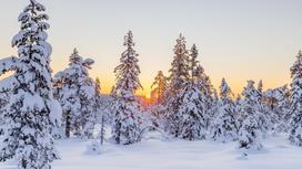 засыпанные снегом деревья растут в лесу