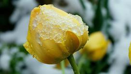 желтый тюльпан в снегу