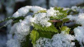 снег лежит на зеленых листьях