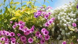 Розовые петунии и цветы с мелкими белыми соцветиями