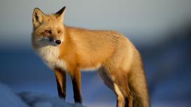 Дикая лиса стоит на возвышенности