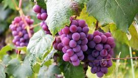 Гроздья розового винограда на стеблях