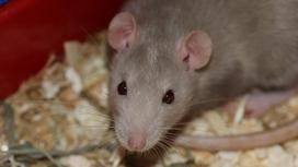 Крыса ползет по полу