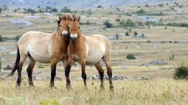 Лошади Пржевальского