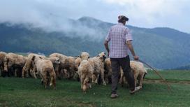 Мужчина пасет овец