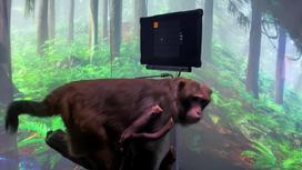 Чипированная обезьяна играет в видеоигрыф