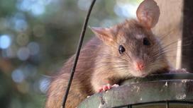 Крыса сидит на светильнике