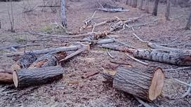 Деревья срублены