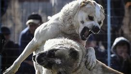 Собаки грызутся