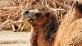 Верблюд высунул язык