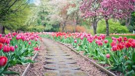 Дорожка в саду и с обеих сторон цветут красные тюльпаны
