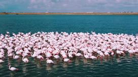 Стая фламинго на озере Караколь
