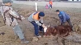 Корова в Карагандинской области