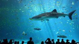 Китовая акула в аквариуме