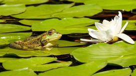 На пруду цветет белая водяная лилия и сидит лягушка на листике