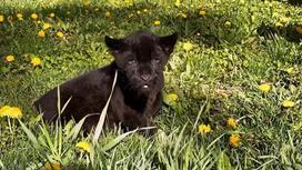 Детеныш ягуара, родившийся в Алматинском зоопарке