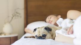 Мопс, сидящий в постели рядом со спящей женщиной