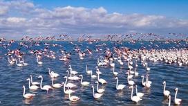 Фламинго на озере Караколь