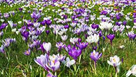 Крокусы цветут на газоне