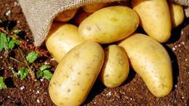 Картофель лежит на земле