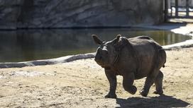 Однорогий носорог