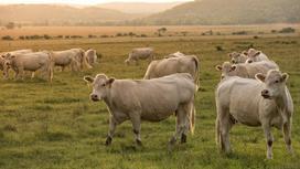 Стадо коров пасется на лугу