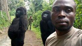 Рейнджер и гориллы