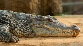 Крокодил отдыхает в вольере зоопарка