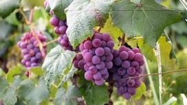 Гроздья винограда на лозе