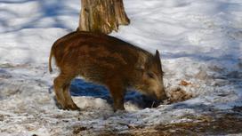 Кабан стоит в лесу на снегу