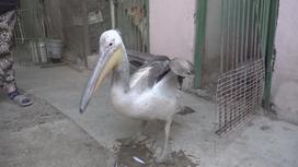 Пеликан, найденный на берегу моря в Актау