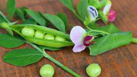 Стручки зеленого гороха и цветки с листиками
