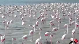 Фламинго бегут по воде