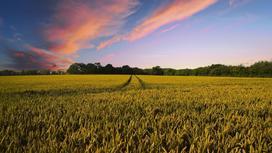 поле пшеницы на фоне заката